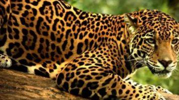 onça pintada leopardo