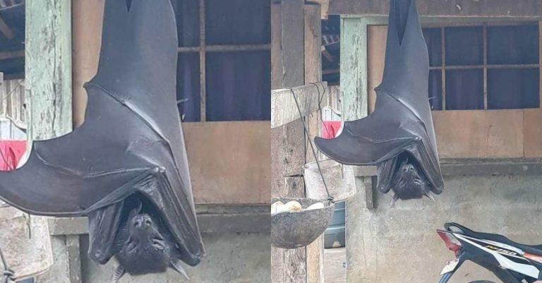Existem morcegos do tamanho de pessoas nas Filipinas? Entenda