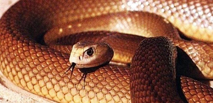taipan cobra mais venenosa do mundo