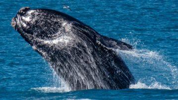 Baleia dos 52 Hertz