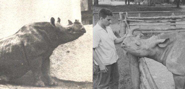 Rinoceronte Cacareco foi eleita para a Câmara Municipal de São Paulo há 60 anos