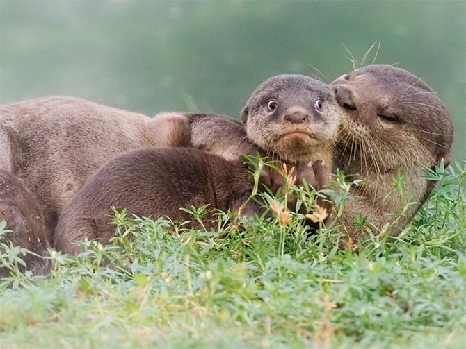 lontras