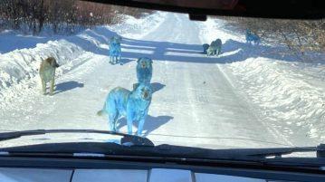 cães azuis russia