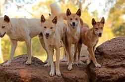 dingo-cães-selvagens