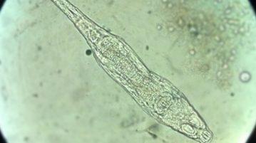 rotifero organismo congelado
