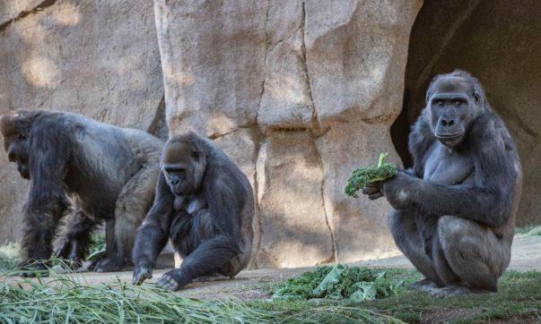 gorilas covid-19