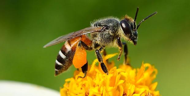 abelha-africana
