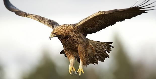 aguia-real