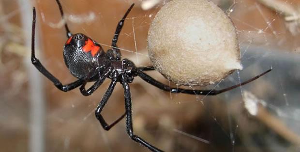 aranha-viuva-negra