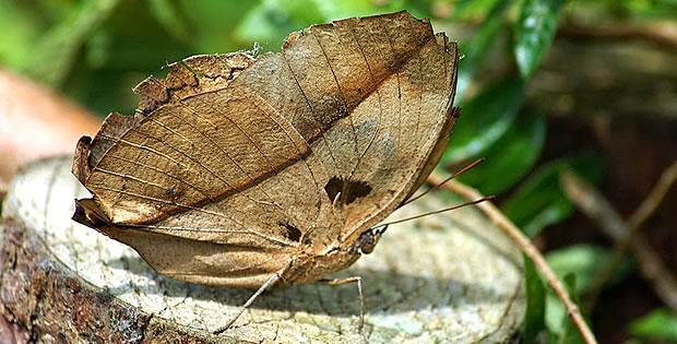 borboleta-folha-seca