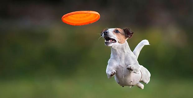 cachorro-frisbee