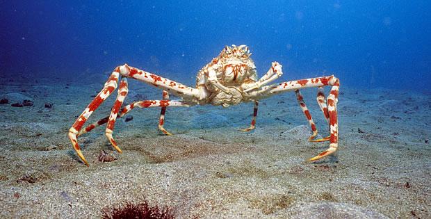 caranguejo-aranha