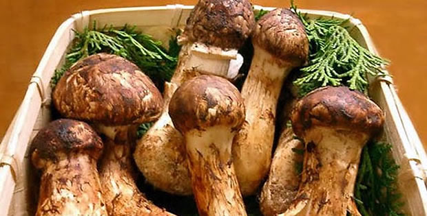 cogumelo-matsutake