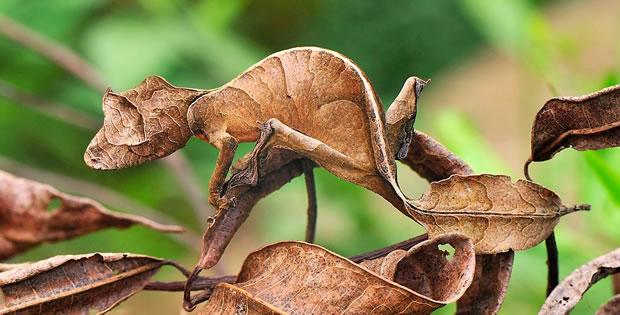 lagartixa-satanica-cauda-de-folha