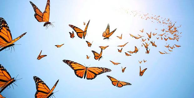 migracao-borboletas-monarcas