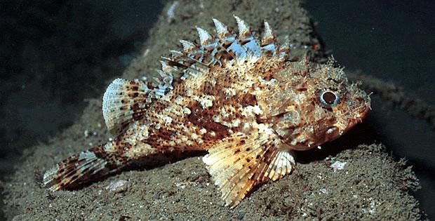 peixe-pedra