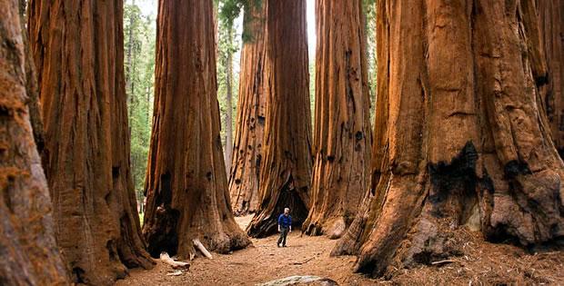 sequoias-gigantes-california